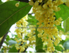 Sweet-osmanthus flower