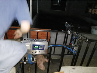 KYLOWEIGH AUTO LIVESTOCK WEIGHING SYSTEM