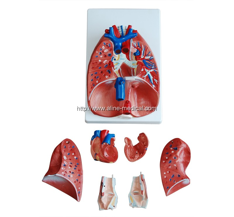Larynx, Heart and Lung Model