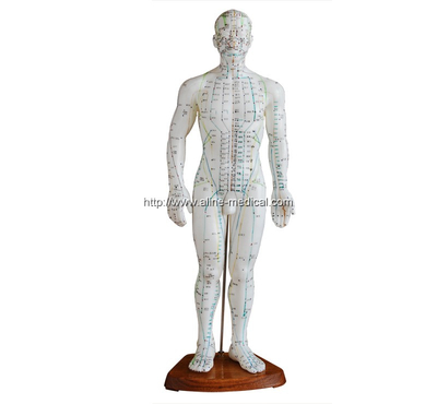 Acupuncture Model 50CM Male